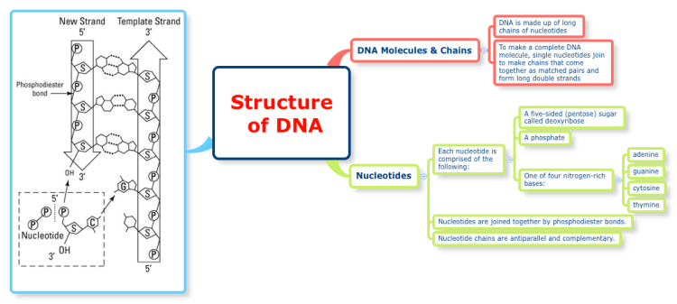structure of dna  xmind mind map template