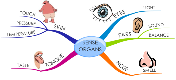 organ senses 1 1 collin college biol 2401: special senses the ear 2 the ear the last two special senses are located within the organ we call the ear those two special senses are.