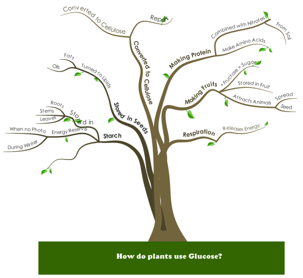 How do plants use Glucose? mind map